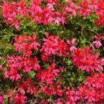 Gerani parigini, una cascata di fiori sul davanzale | Coltivazione e prezzi