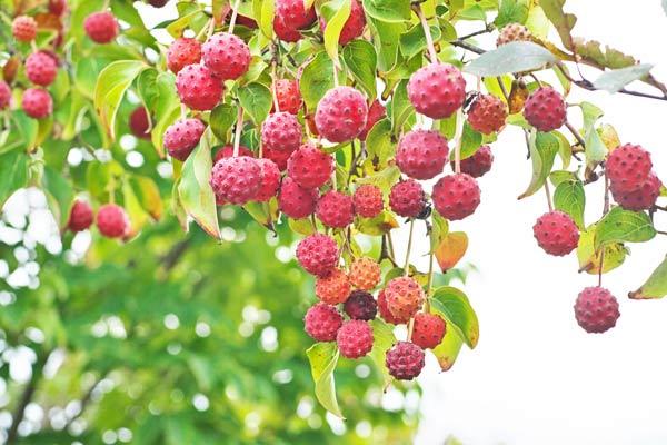 albero delle fragole