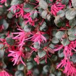 Loropetalum, arbusto sempreverde resistente al freddo | Coltivazione