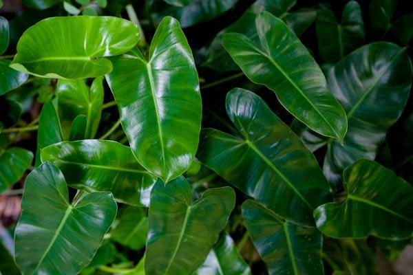 Alocasia pianta elefante