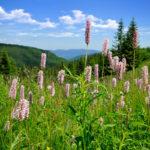Persicaria, pianta suffruticosa perenne | Coltivazione e varietà