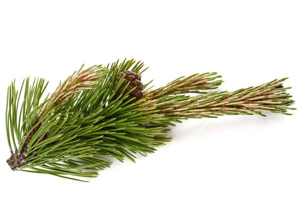 aghi Pinus mugo
