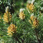 Pino mugo, conifera arborea o arbustiva | Come coltivare il pino montano
