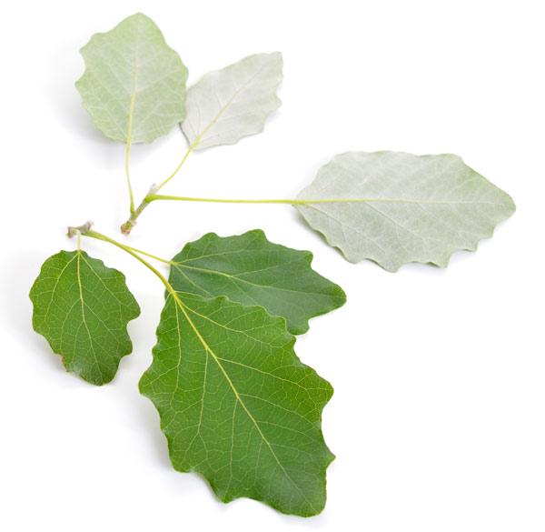 pioppo foglie