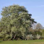 Pioppo bianco | Caratteristiche e coltivazione