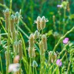 Psillio, la piantaggine officinale | Coltivazione e proprietà