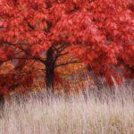 Quercia rossa | Cura e coltivazione della Quercia canadese