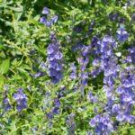 Scutellaria | Come coltivare la pianta dalle molte proprietà