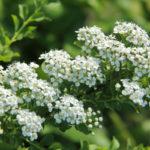 Spirea, pianta ornamentale | Coltivazione e cura