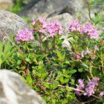 Timo serpillo | Come coltivare questa pianta aromatica perenne