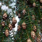 Tsuga canadensis, conifera ornamentale | Coltivazione e varietà