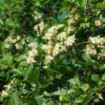 Vitalba, rampicante perenne | Coltivazione e proprietà