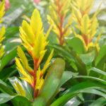Vriesea, la bromeliacea dallo splendido fiore| Coltivazione e varietà
