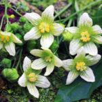 Bryonia dioica, la vite bianca | La pianta velenosa impiegata in omeopatia