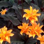 Calathea crocata, pianta d'appartamento dai fiori arancioni | Coltivazione