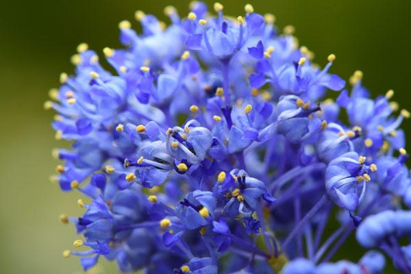 ceanoto fiore
