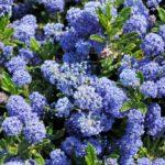 Ceanothus, bell'arbusto da giardino | Coltivazione e cure