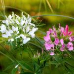 Cleome, cespuglio ornamentale fiorito | Coltivazione
