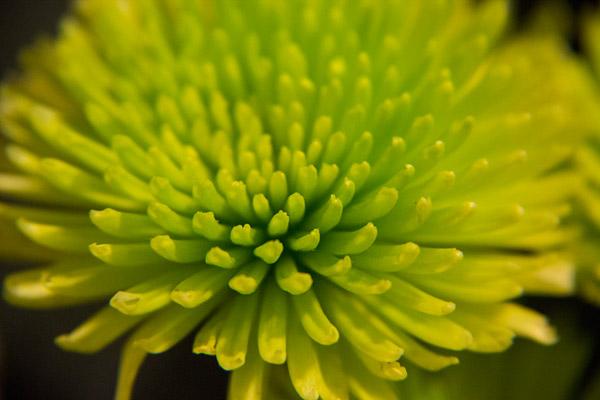 Crisantemo Spider Green