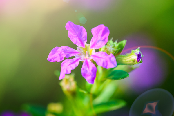 hyssopifolia fiore