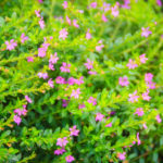 Cuphea hyssopifolia, cespugliosa ornamentale| Consigli per la coltivazione