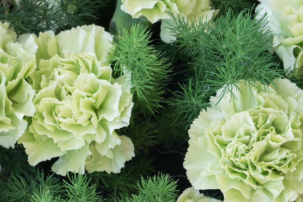 Garofano verde