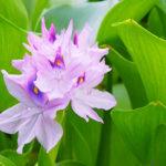 Giacinto d'acqua | Come si coltiva questa bella pianta acquatica