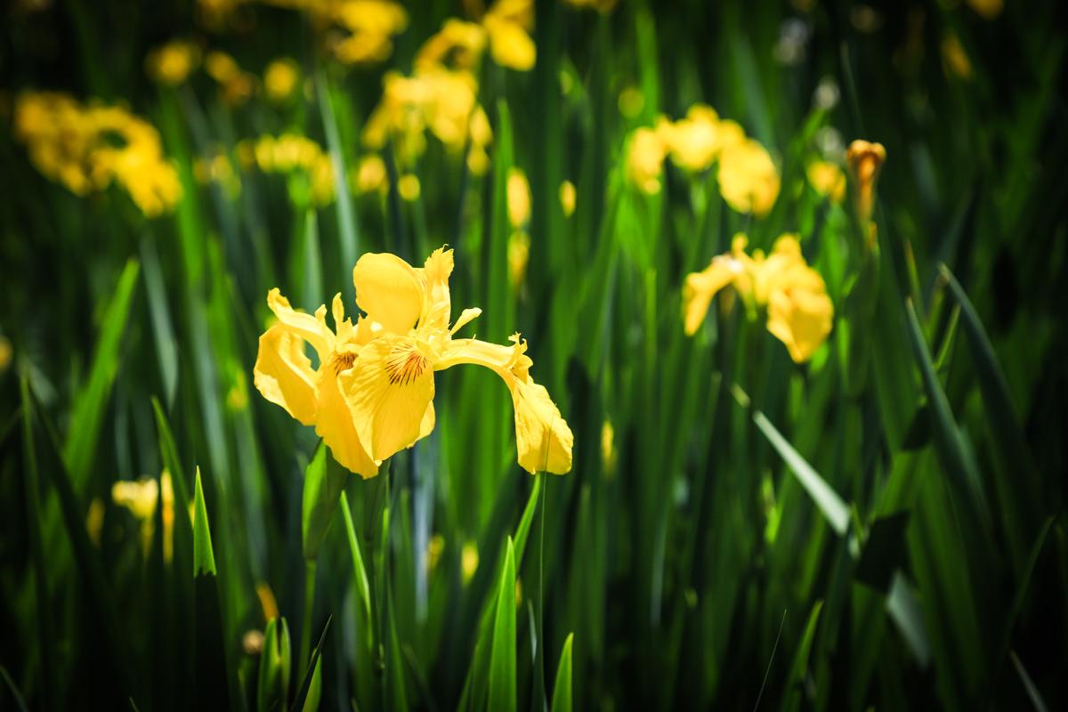 Fiori Gialli Acquatici.Iris Pseudacorus Come Coltivare Il Giaggiolo Acquatico