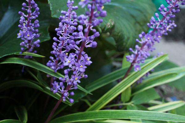 Liriope pianta