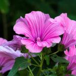 Lavatera, pianta dai bei fiori ornamentali | Coltivazione e varietà