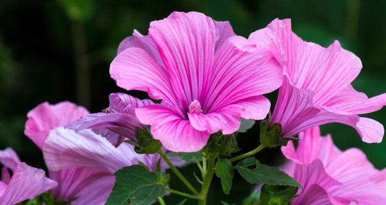 Lavatera pianta dai bei fiori ornamentali coltivazione for Fiori ornamentali