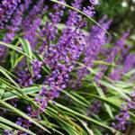 Liriope, pianta ornamentale | Cura e coltivazione