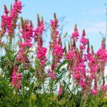 Lupinella | Come coltivare questa erbacea leguminosa