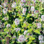 Menta acquatica, o menta cervina | Coltivazione e proprietà
