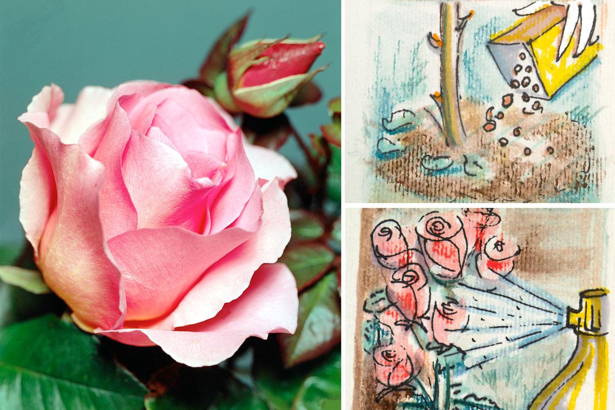 Piante Di Rose Rampicanti piante di rose in primavera   quali interventi effettuare