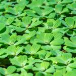 Pistia stratiotes | Coltivazione della lattuga acquatica