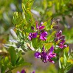 Poligala a foglie di mirto | Consigli per la coltivazione