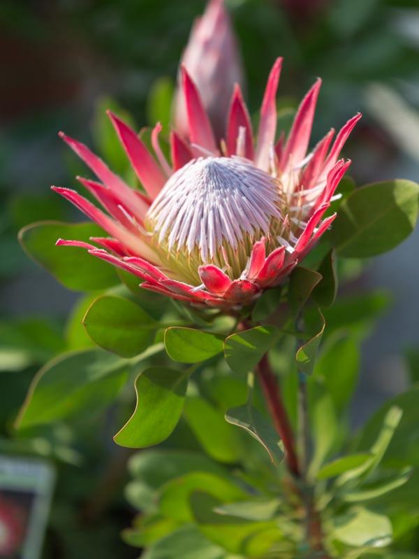 Protea pianta
