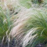 Stipa tenuissima | Cura e coltivazione della pianta dai capelli d'angelo