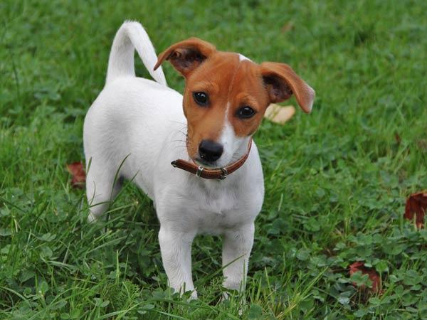 Jack Russel Terrier Piccolo Cane Gioioso Ed Energico Fai