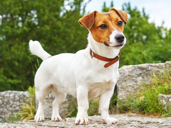 jack russel cane