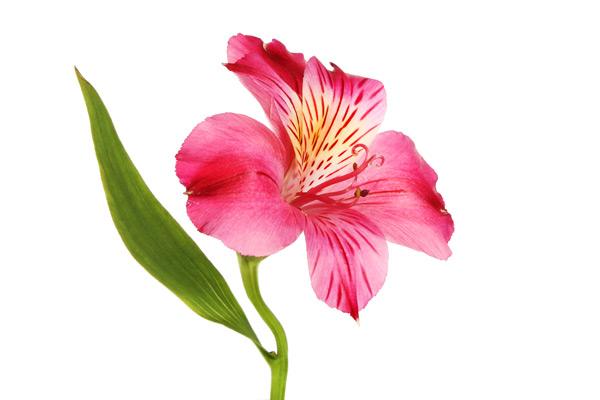 alstroemeria fiore