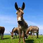 Asino | Animale socievole e intelligente