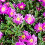 Barba di Giove, la pianta grassa da giardino | Cura e coltivazione