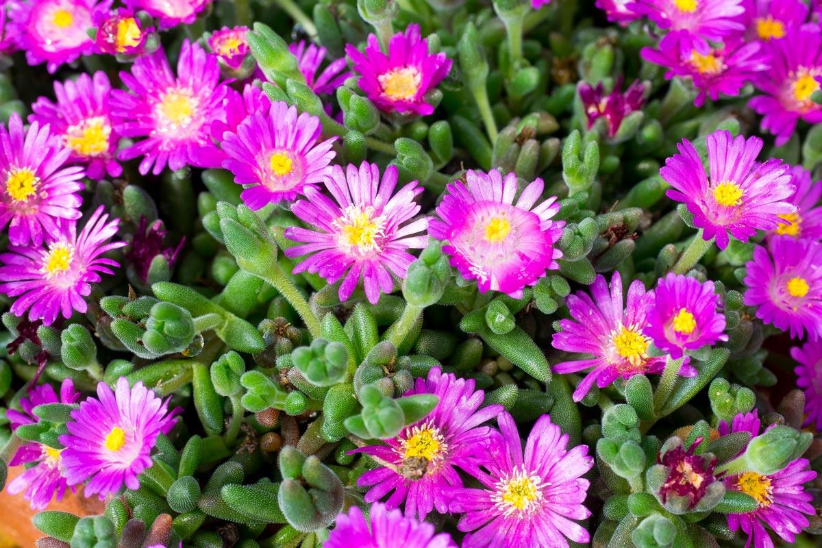 Fiori Da Giardino In Montagna barba di giove, la pianta grassa da giardino | cura e