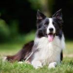 Border Collie | Il cane pastore vivace e protettivo