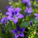 Campanula portenschlagiana | La pianta dall'elegante fiore viola
