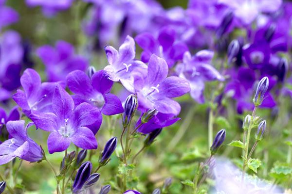 campanula portenschlagiana fioritura