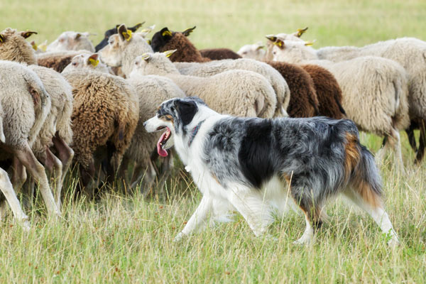 cane pastore