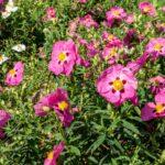 Cisto, arbusto sempreverde dai fiori increspati | Coltivazione